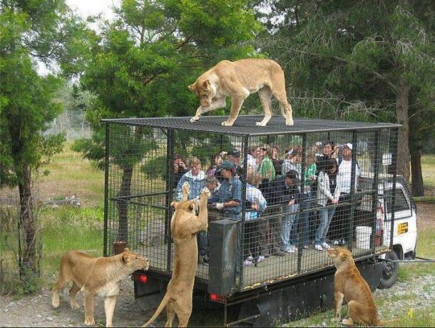 DES GENS DANS LA CAGE AU LION  (prêts à se faire manger ?) - Orana wildlife park